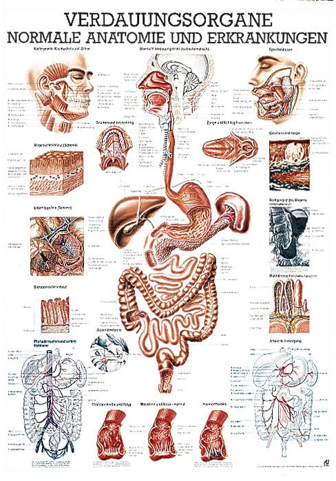 Anatomie Organe Im Anatomie Mensch Innere Organe Des M Pictures to pin
