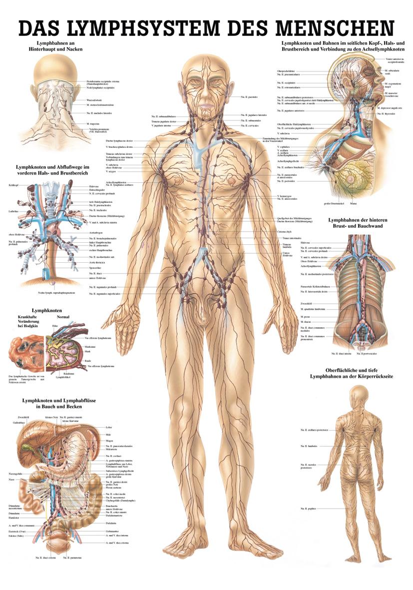 Großzügig Das Lymphsystem Fotos - Anatomie Und Physiologie Knochen ...