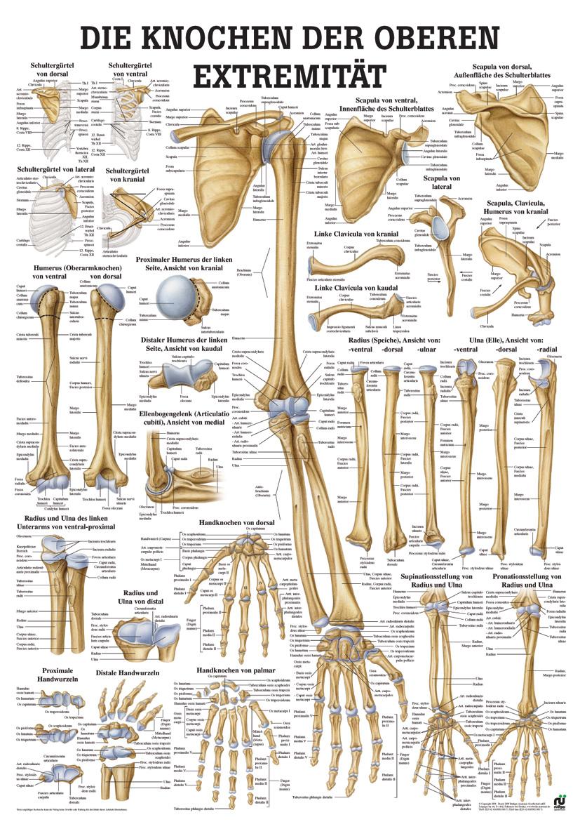 Lehrtafel: Knochen obere Extremität | LMS Lehrmittel-Service H.Späth ...