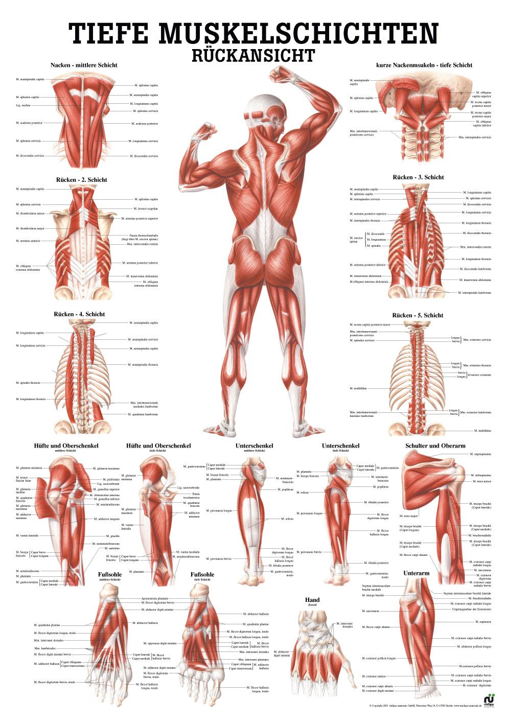 Ziemlich Muskelsystem Rückansicht Ideen - Menschliche Anatomie ...